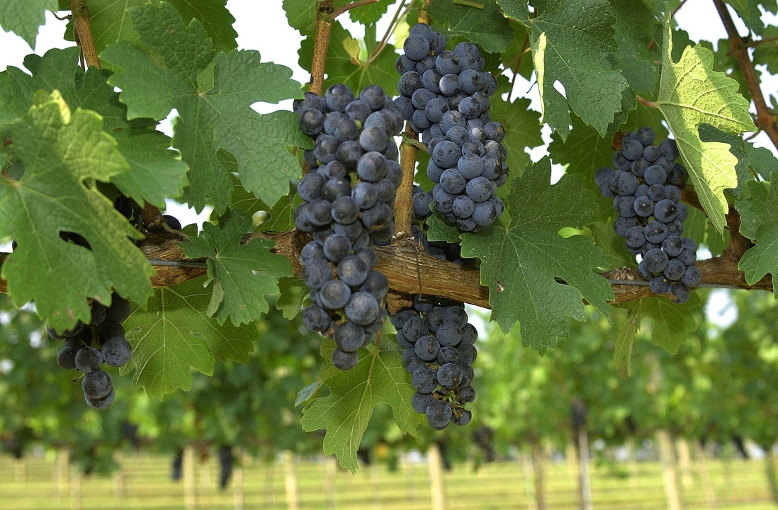 How to plant grapes 23