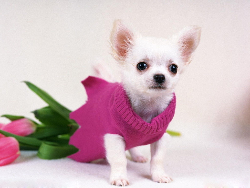 The Chihuahua Is One Of Smallest Dogs In World Often Present Designer Bags Carried By Celebrities Although Chihuahuas Are Loyal And Lovable