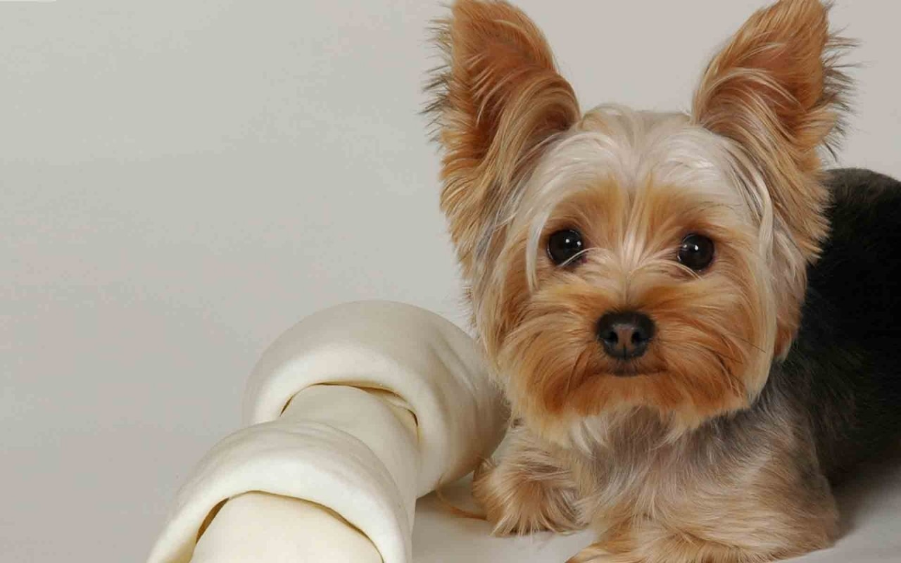 small dog breeds for apartments blogs avenue. Black Bedroom Furniture Sets. Home Design Ideas