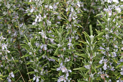 How to Grow Rosemary